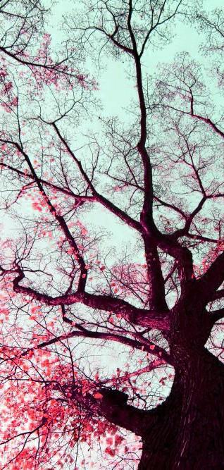 cherry_blossom_by_sarrrahhh